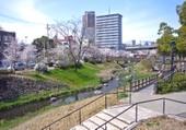 Gifusakura_001