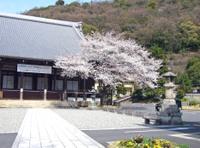 Gifusakura_003