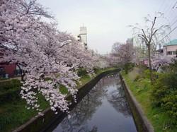 Sakura_003_1