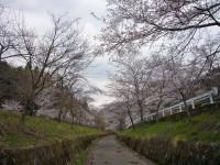 Senbonsakura_003